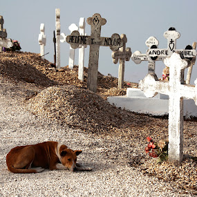 waiting for by Paolo Tangari - Animals - Dogs Portraits ( dogs, cemetery, waiting for, senegal )