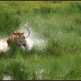 Explosive action by Romano Volker - Animals Lions, Tigers & Big Cats