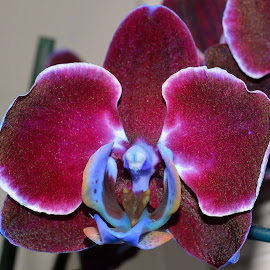 Orchid by Brian Shoemaker - Novices Only Flowers & Plants ( home, natural light, orchid, flower, closeup )