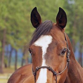 by Giselle Pierce - Animals Horses ( mare, blaze face, horses, horse, halter, blaze, animal )