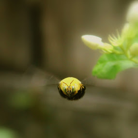 Bumblebee by Gokul Rajenan - Animals Insects & Spiders ( #flying #bee #flower #nature )