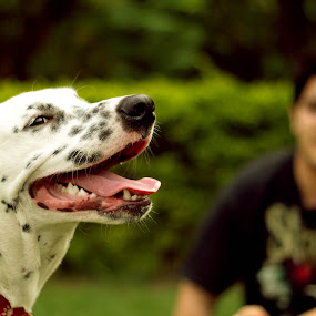 Zippy the Dalmatian by Anurag Bhateja - Animals - Dogs Playing ( pet photography, dalmatian, chandigarh, india, dog )