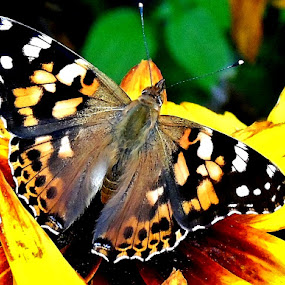 COLORFUL BUTTERFLY by Wojtylak Maria - Animals Insects & Spiders ( butterfly, colorful, insect, flower,  )