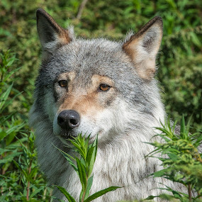 Wolf by Janne Monsen - Animals Other Mammals ( nature, wolf, nikon, norway, animal )