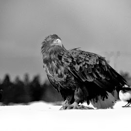 White tailed eagle and magpie by Roald Heirsaunet - Black & White Animals