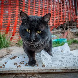 Cat by Stefan Mihailovic - Animals - Cats Portraits ( streetphotography, cat, street life, park, street, eating, eat, street scene, street scenes, street photography,  )