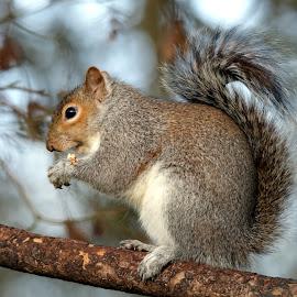 Grey squirrel by John Davies - Animals Other Mammals ( squirrel )