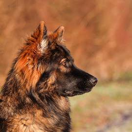 dark sable long-coated german shepherd dog outside by Sebastian Wolf - Animals - Dogs Portraits ( dog head, rescue, reliability, security, pack, protect, long, german shepherd dog puppy, gsd, shepherd, ddr, nature, guard, dark, fur, dog puppy, working, hair, coat, black, animal, sable, protection, pedigree, lying, attentive, grass, alert, male, german, german shepherd dog, forest, woods, portrait, watchdog, field, long-coated, safety, vigilant, female, pet, bloodline, purebred, puppy, group, dog )