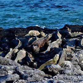 Marine Iguanas on the Beach, Galapagos Islands, Ecuador by Sheri Harper - Animals Sea Creatures ( ecuador, marine iguana, galapagos islands, beach, rocks )