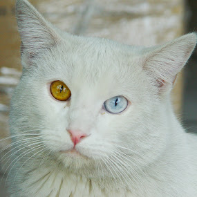 Blue-Brown Eyed cat by Mw C - Animals - Cats Portraits