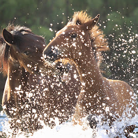 I'm gonna get you for that!  by Deb Bulger - Animals Horses ( water, splashing through water, horses in water, equine, foals, horse eyes, equine animals, horses playing, salt river wild horses )
