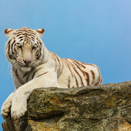Surveying by Briand Sanderson - Animals Other Mammals ( big cat, predator, cat, white tiger, king of the hill, tiger, bengal tiger, feline, mammal, animal )