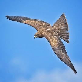 Kite by Kjetil Salomonsen - Animals Birds