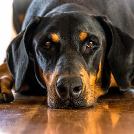 Waiting by Petra Bensted - Animals - Dogs Portraits ( waiting, pet, dog, doberman, animal )