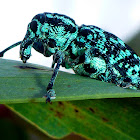 Sapphire Weevil