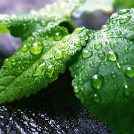 Nature Drops by Anirban Chatterjee - Nature Up Close Leaves & Grasses ( water, nature, drop, drops, leaves )