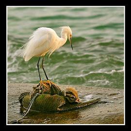 { The Snowy Egret ~ Boss of the Berm }  by Jeffrey Lee - Animals Birds ( snowy egret on berm, snowy egret, snowy egret fishing on sand berm,  )