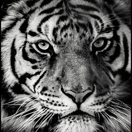 Bengal Tiger by Dave Lipchen - Black & White Animals ( bengal tiger )
