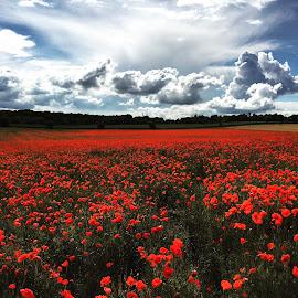 Poppy Field by Neil Hannam - Landscapes Prairies, Meadows & Fields ( poppy )