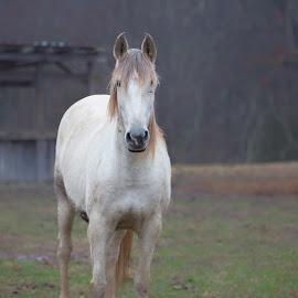 White horse in fog by Jack Nevitt - Animals Horses ( farm, fog, horse, white, standing )