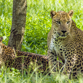 Leopard family by Kusal Gautamadasa - Animals Lions, Tigers & Big Cats ( cats, spots, wild, green, leopard family )