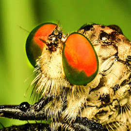 The Rainbow Eye of Robber Fly by Shohibul Huda - Animals Insects & Spiders ( macrophotography, macro photography, fly, indonesia, insect, robber, robber fly, robberfly, animal )