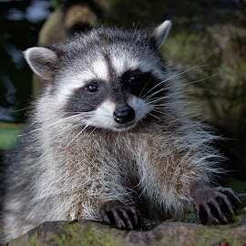 May I have a Snackipoo Please by Raphael RaCcoon - Animals Other Mammals ( raccoon, mammal, animal )