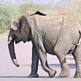 Young Elephant by Pieter J de Villiers - Animals Other ( mammals, animals, kruger national park, other, elephant, south africa, africa )