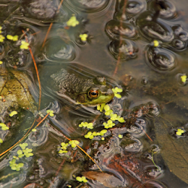Blending In by Melanie Melograne - Animals Amphibians ( frog in pond )