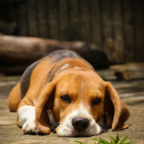 Dog at Rest by Israel  Padolina - Animals - Dogs Portraits ( animals, rest, beagle, dog, portrait )