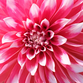 Dahlia by S B - Flowers Single Flower ( pink, dahlia, up close, petals, flower,  )