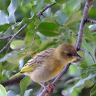 Southern Brown-throated Weaver - female