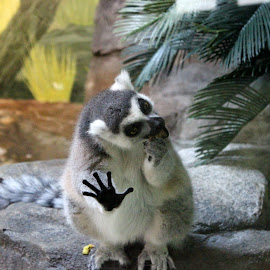 lemur eating by Melissa NO - Animals Other