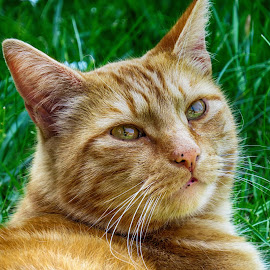 Watch the birdie by Simon Alun Hark - Animals - Cats Portraits ( cat, ginger, golden )