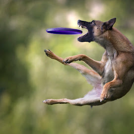 She is a monster :D by Claudio Piccoli - Animals - Dogs Playing ( actiondogs, discdog, dogs, dogsinaction, flyingdogs, catchingdogs, action, frisbeedogs, dog, claudiopiccoli, frisbee, jumpingdogs )