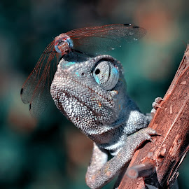 Emergency landing !!! by Mustafa Öztürk - Animals Reptiles ( macro, landing, emergency, insect, dragonfly, chameleon, animal )