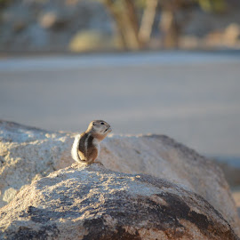 Little cutie by Heather Walton - Novices Only Wildlife ( eating, fuzzy tail, rock, ground squirrel, small,  )