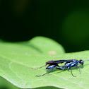 Blue Mud Wasp