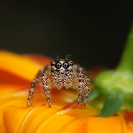 cute eyes by Hendrata Yoga Surya - Animals Insects & Spiders ( fujifilm, jumping spider, arachnid, yellow, flowers, finepix s4800 )