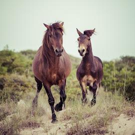 Racing by Tom Moors - Animals Horses ( dunes, horses, nc, outer banks, horse, beach, corolla, running, north carolina,  )