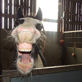 A laugh a day, keeps the vet away by Mick Greaves - Animals Horses ( colour, horse, teeth, natural beauty,  )