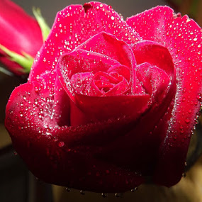 by Colleen Legree - Nature Up Close Flowers - 2011-2013 ( holiday, red, roses, sweetest day )