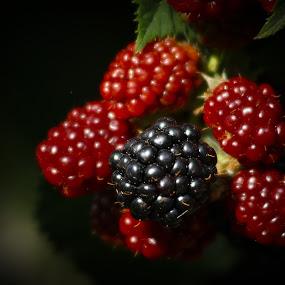 blackberry by Tomislav Šestak - Nature Up Close Gardens & Produce ( blackberry, fruit, red, pwcvegetablegarden, black )