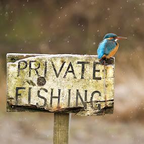 Private Fishing by Charlie Davidson - Animals Birds ( bird, scotland, wild, kingfisher, wildlife )