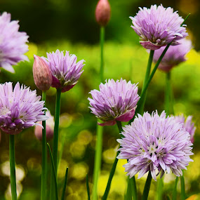 Chives. by Ken Quiñones Street - Nature Up Close Flowers - 2011-2013 ( onions, purple, chives )