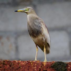 Bird by Rahul Manoj - Novices Only Wildlife ( bird, single, beak, grey background )