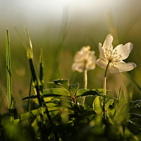 A Beautiful Anemone  by Sami Rahkonen - Flowers Flowers in the Wild ( flora, grass, bokeh, close-up, anemones, wood anemone, macro, nature, backlight, anemone, summer, flowers, light, flower )