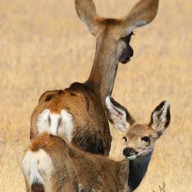 Doe and Fawn by Julia Van Klinken Myers - Animals Other Mammals ( wild, cuteness, cute baby, baby girl, doe, baby animals, fawn, deer )
