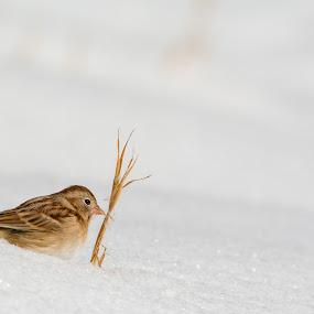 Bird in the snow by Jason Lemley - Animals Birds ( bird, winter, grain, snow, wildlife )