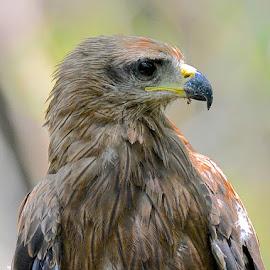 Black Kite by Thejas Cr - Animals Birds